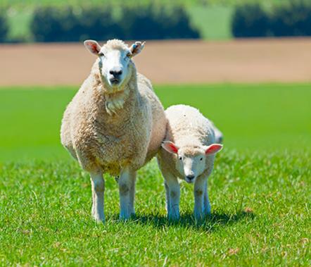 We Love Sheep