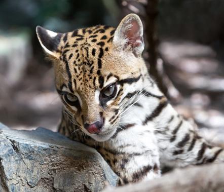 Wild Cats II